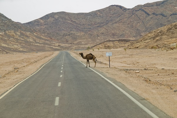Picture of a camel crossing a road.